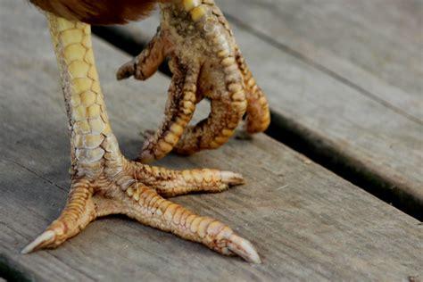 chicken legs live chicken feet