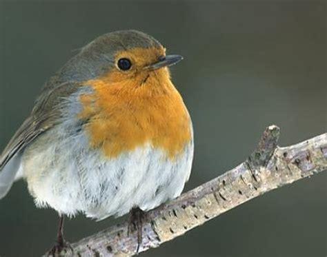 animals unique robin bird