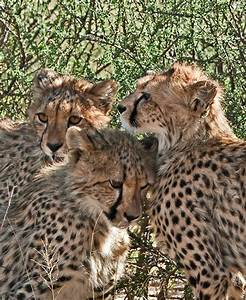 1000  Images About The Big Cats On Pinterest