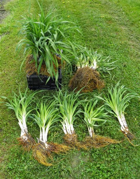 how to divide daylilies the vermont gardener dividing daylilies