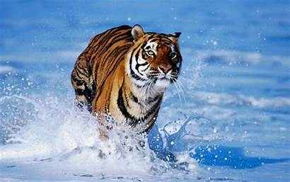Tiger Wallpapers Bengal Backgrounds