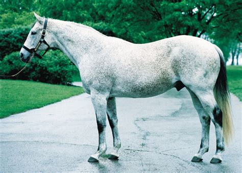 light grey horse