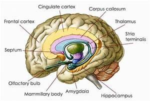 Anxiety Cells U0026 39  Identified In The Brain U0026 39 S Hippocampus