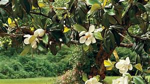 The Complete Guide to Magnolia Trees - Southern Living