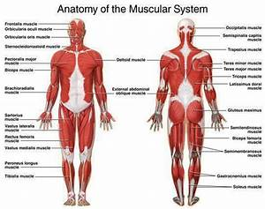 Images Of The Muscular System