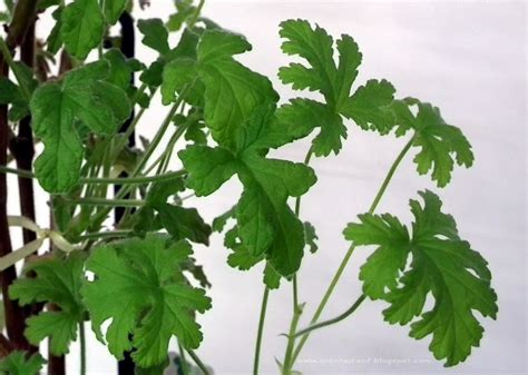 lemon scented geranium care scented leaf pelargonium rober s lemon rose
