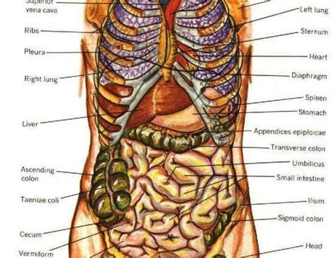 inside the human body diagram anatomy organ