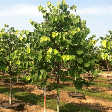 hearts of gold redbud cercis canadensis hearts of gold pp17740 hale and hines nursery