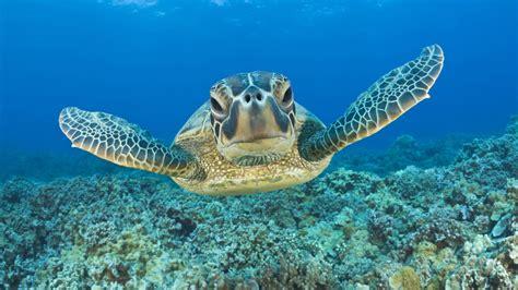 Swimming With Turtles At Black Rock Kaanapali Beach Maui