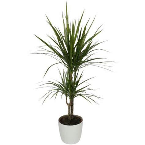 plante d int 233 rieur dracaena 2 troncs pot blanc vente