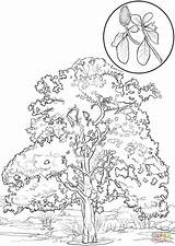 Magnolia Coloring Pages Southern Tree Flower Tulip Poplar Aspen Trees Printable Leaves Drawing Paper Sketch sketch template