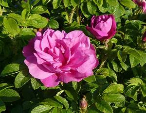 Ilmaisia Kuvia   Kukka  Ter U00e4lehti  Ruusu
