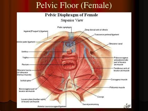 Muscles Of The Pelvic Floor Ppt by Ppt Muscles And Fascia Of Pelvic Wall Powerpoint