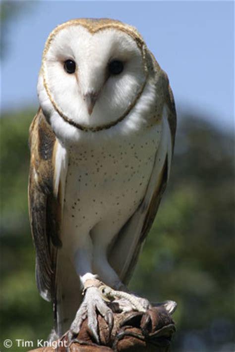 barn owl habitat barn owl facts for naturemapping