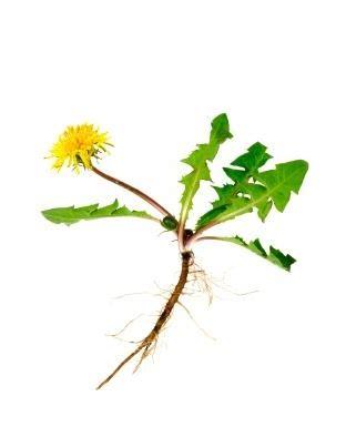 Растение манжетка от сахарного диабета
