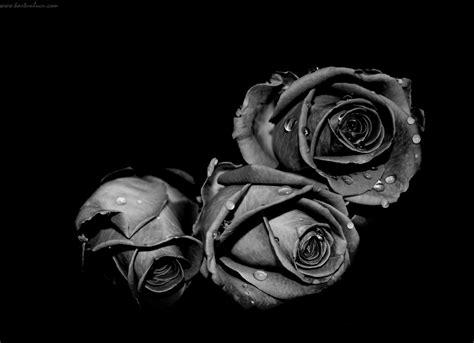 wallpaper keren mawar hitam kumpulan kartun