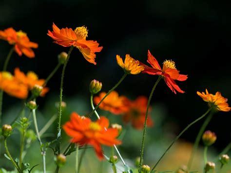 Black And Orange Flower Wallpaper by Orange Cosmos Flowers Bright Colored Flowers In Bloom