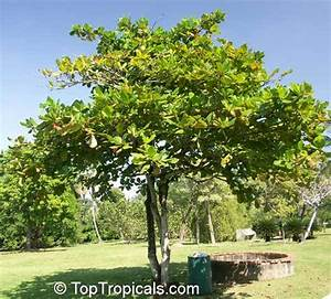 Terminalia catappa - Health effects and herbal facts