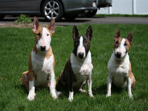 miniature bull terrier   facts    fall