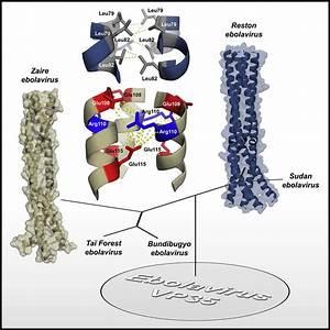 Structures Of Ebola And Reston Virus Vp35 Oligomerization