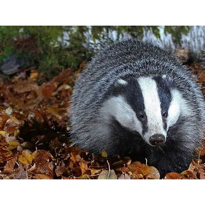 European Badger WallpaperFree HD Animal Images
