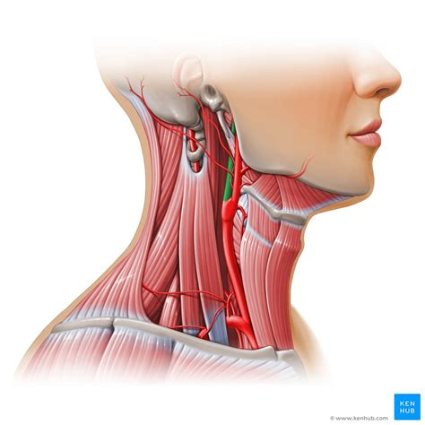 Arteria carotis interna) is located in the inner side of the neck in contrast to the external carotid artery. Internal carotid artery: Anatomy, segments and branches ...