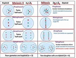 How To Explain The Process Of Meiosis Ii In A Diagram