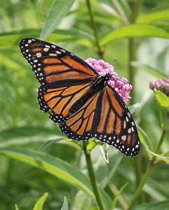Red House Garden: Monarch Sighting!