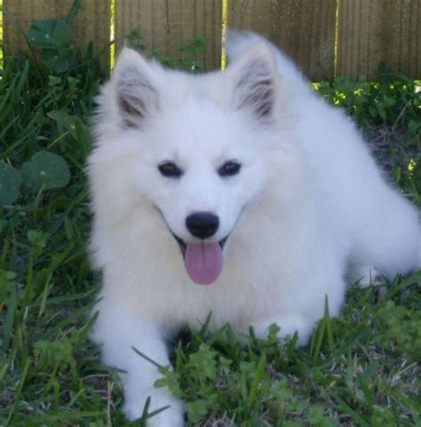 American Eskimo Spitz Shedding by American Eskimo Images Temperament And Expectancy