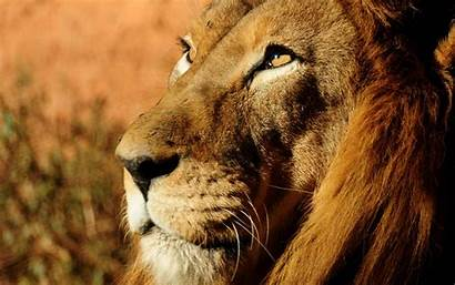 Lion Face Wallpapers Animals Wildlife 1080p Side