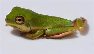 Learn about Nature | Green Tree Frogs - Learn about Nature