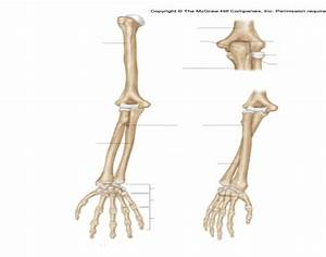 Lower Arm  Bones Of Arm And Hand  Processes