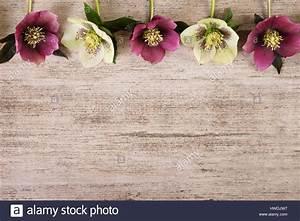 Vintage frame spring flowers of hellebore on light brown ...