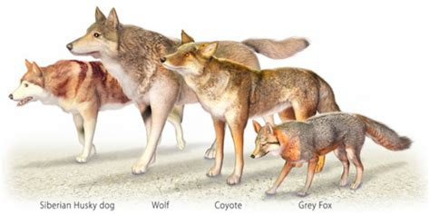 Coyote Fox spy animals  creature sitting 500 x 250 · jpeg
