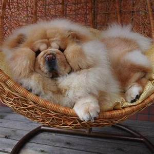 25+ best ideas about Chow chow puppies on Pinterest | Chow ...