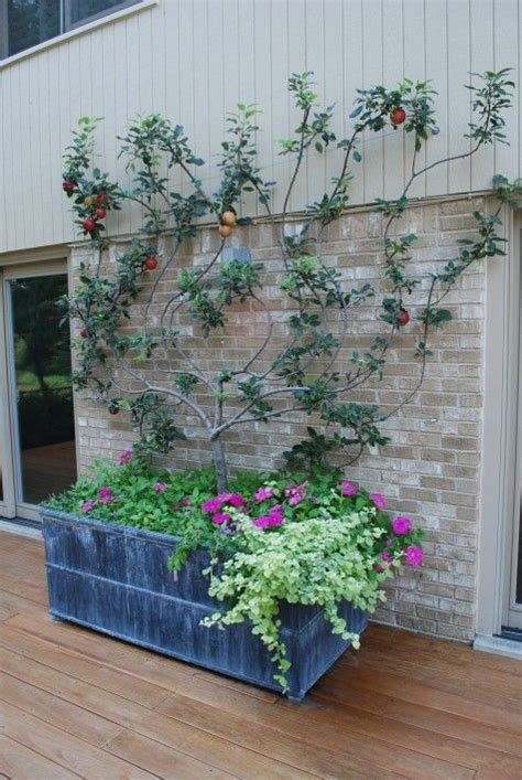 espalier fruit trees in containers the 25 best espalier fruit trees ideas on pinterest garden ideas against a wall how to grow