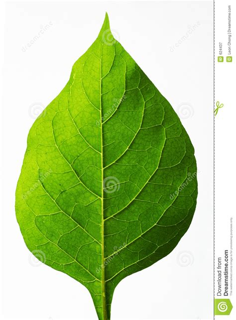 what is foliage perfect leaf stock image image of tree backlight leaf 624437