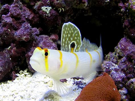 saltwater goby fish  interesting information  subject