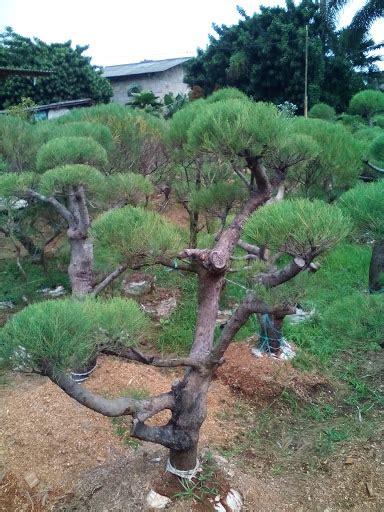 tukang taman murah bonsai cemara udang tukang taman