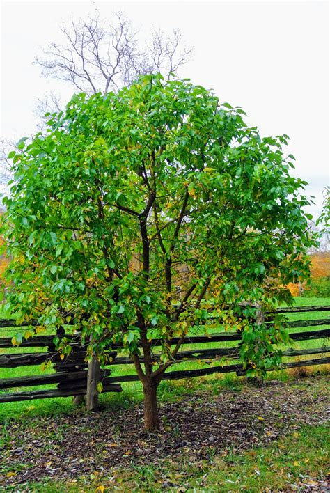 The Osage Oranges At My Farm  The Martha Stewart Blog