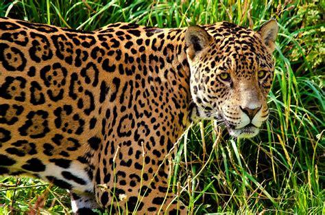 Jaguar Desktop Wallpaper by Jaguar Animal Wallpaper Wallpapersafari