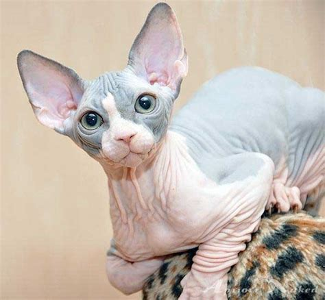 40 Amazing Hairless Sphynx Cat Pictures  Tail And Fur