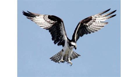 Osprey vs eagle