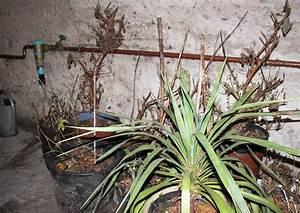 Hortensien überwintern Im Keller : berwinterung von k belpflanzen im keller 04 fuchsien ~ Lizthompson.info Haus und Dekorationen