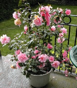 camelia camelia in a pot garden outdoor living gardens plants and garden ideas