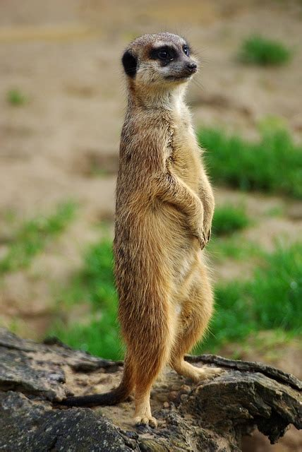 photo meerkat animal zoo photo nature