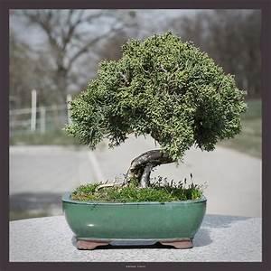 Chinesischer Wacholder Bonsai : wacholder bonsai foto bild pflanzen pilze flechten b ume bonsai bilder auf fotocommunity ~ Sanjose-hotels-ca.com Haus und Dekorationen