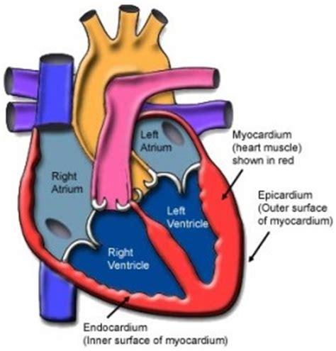 myocarditis hart circulatie menselijk lichaam