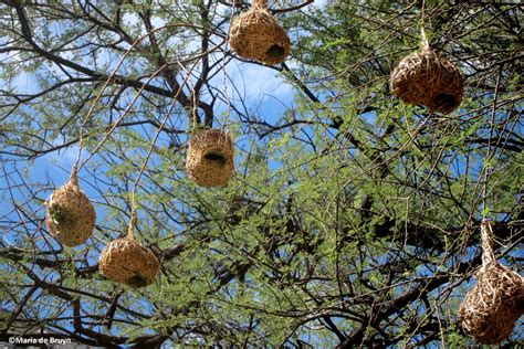 weaver nest sociable weaver bird my beautiful world