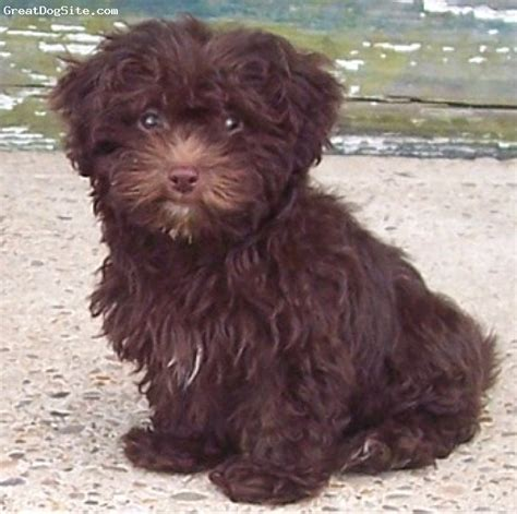 Lhasa Apso Puppy Shedding by Lhasa Poo Dog Breeds Picture